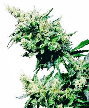 Hash Plant Cannabis Cub Gewinner