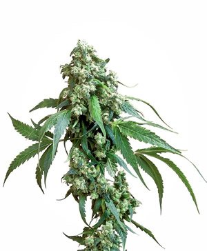 Marihuana Indica Sorte Cannabis Cup Gewinner