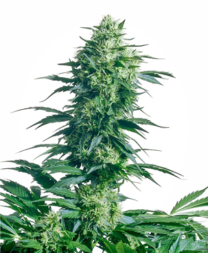 Sativa Indica Hybrid neueste Generation