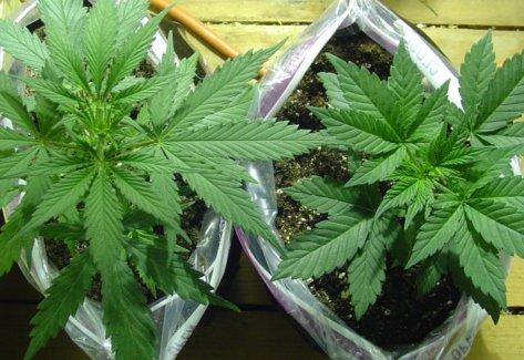 Die drei Cannabis-Sorten