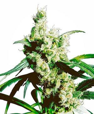 Silver Haze Sativa Pflanze