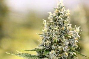 Cannabis: Genuss und Medikament