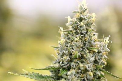 Cannabis: Genuss oder Medikament?