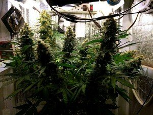 Cannabis Growbox für Homegrower