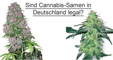 Legale Cannabis Samen