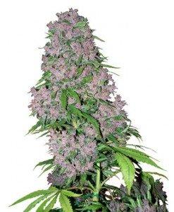 Sind Cannabis-Samen in Deutschland legal