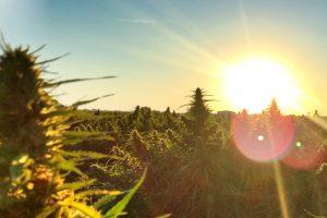 Kommt in Bremen die Cannabis Legalsierung