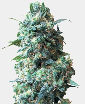 Afghan Kush Cannabis Samen
