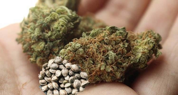 Cannabissamen männlich oder weiblich