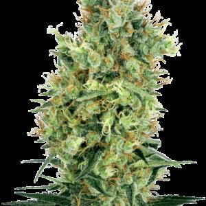 Cali Orange Bud Reguläre Hanfsamen von White Label
