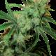 Fruity Juice Reguläre Cannabissamen 10 Stk