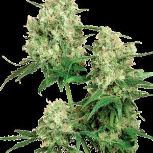 Maple Leaf Indica Reguläre Hanfsamen