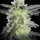 Silver Haze Feminisierte Cannabissamen 10 Stk