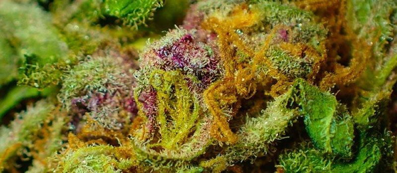 Wann ist der richtige Zeitpunkt, um Cannabis zu ernten?