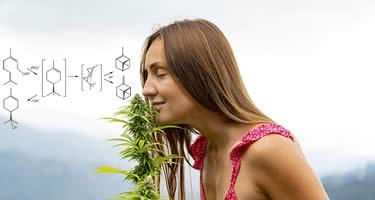 Was sind Cannabis-Terpene